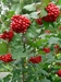 High bush Cranberry (Viburnum trilobum) - FHBC1A-TKX