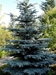 Colorado Blue Spruce (Picea pungens) - CCBS1A-WWP