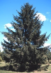 Norway spruce (Picea abies) Norway Spruce, Spruce