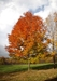 Sugar Maple (Acer saccharnum) (Hard maple) - HSM1A-8TZ