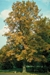 Swamp White Oak (Quercus bicolor) - HSWO1A-F5U